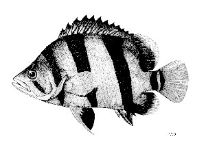 Datnioides-microlepis