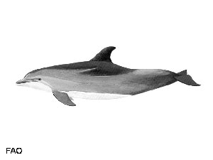 Tursiops-truncatus